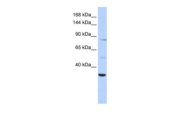 AHNAK2 antibody - middle region (ARP42757_P050) in Human HepG2 cells using Western Blot