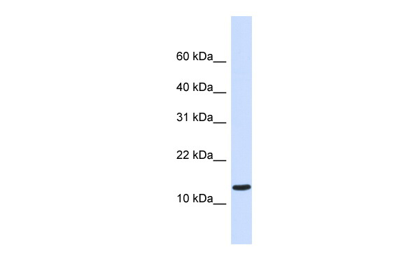 C1orf95 antibody - middle region (ARP44446_P050) in Human Heart cells using Western Blot