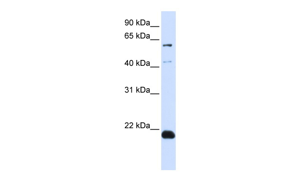 C14orf180 antibody - N-terminal region (ARP44553_P050) in Transfected 293T cells using Western Blot