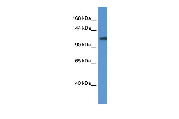 Ano6 antibody - middle region (ARP44759_P050) in Mouse Liver cells using Western Blot