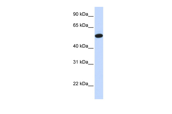 CEACAM16 antibody - middle region (ARP44865_P050) in Human Liver cells using Western Blot