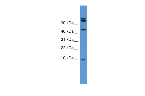 Bmp2 antibody - middle region (ARP45066_P050) in Rat Heart cells using Western Blot
