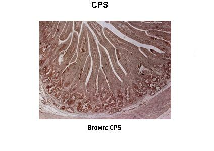 CPS1 antibody - middle region (ARP45690_T100) in Pig duodenum cells using Immunohistochemistry