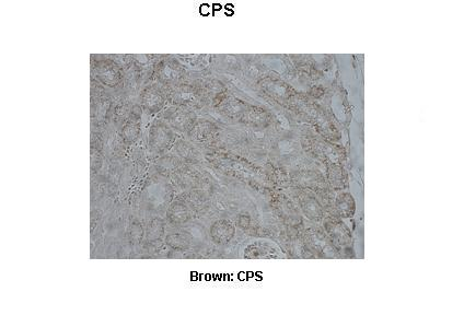 CPS1 antibody - middle region (ARP45690_T100) in Pig kidney cells using Immunohistochemistry