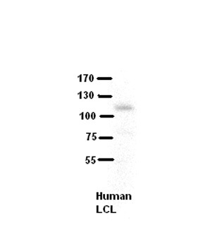 COL6A1 antibody - middle region (ARP45803_P050) in human LCL cells using Western Blot