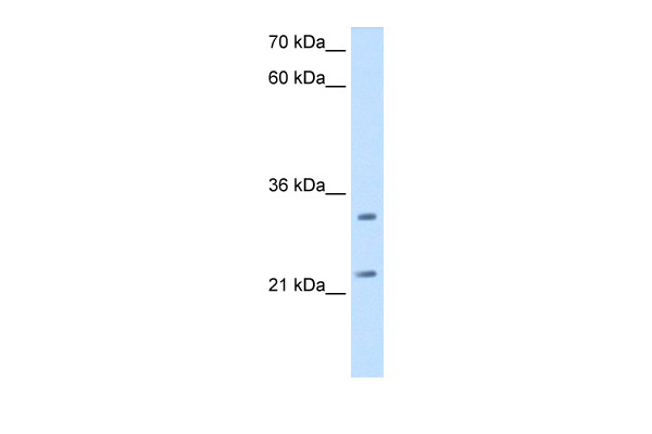 C21orf33 antibody - N-terminal region (ARP45817_T100) in Human HepG2 cells using Western Blot