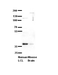 C21orf59 antibody - N-terminal region (ARP45873_P050) in Human, Mouse cells using Western Blot