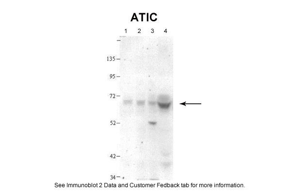 ATIC antibody - N-terminal region (ARP46095_T100) in Human, Hamster cells using Western Blot