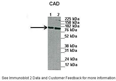 CAD antibody - N-terminal region (ARP46105_P050) in Human cells using Western Blot