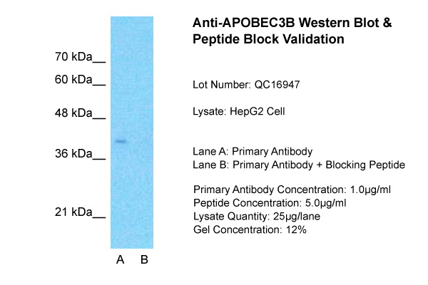 APOBEC3B antibody - N-terminal region (ARP46114_P050) in HepG2 cells using Western Blot