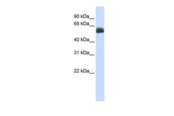 CEP55 antibody - middle region (ARP46271_P050) in Human Lung cells using Western Blot