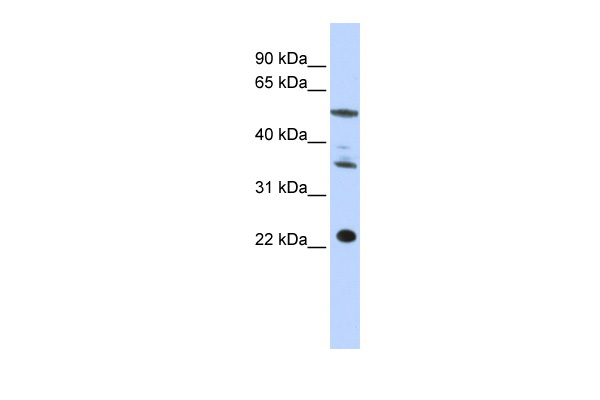 CENPM antibody - middle region (ARP46323_P050) in Human HepG2 cells using Western Blot