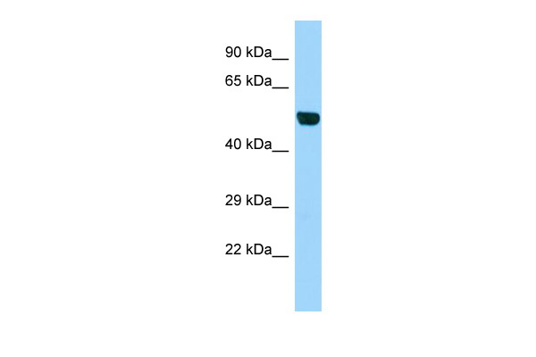 B3gnt1 Antibody - middle region (ARP46797_P050) in Mouse Testis cells using Western Blot