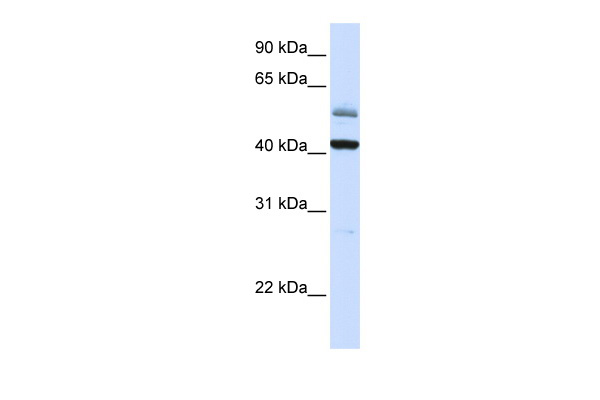 ARMCX1 antibody - C-terminal region (ARP47286_P050) in Human Placenta cells using Western Blot