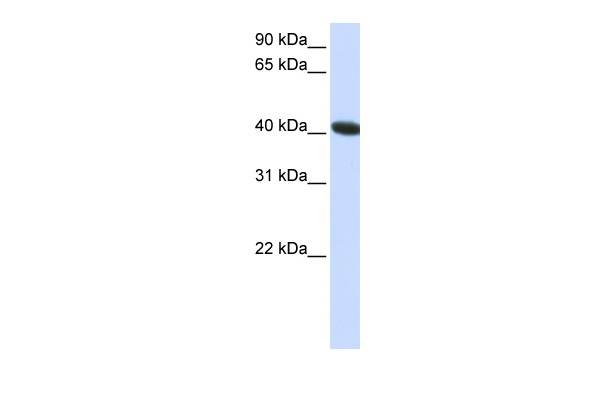 C1orf159 antibody - C-terminal region (ARP47374_P050) in Human HepG2 cells using Western Blot