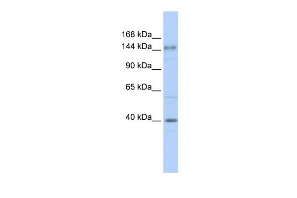 SAC antibody - N-terminal region (ARP47447_P050) in Human Brain cells using Western Blot