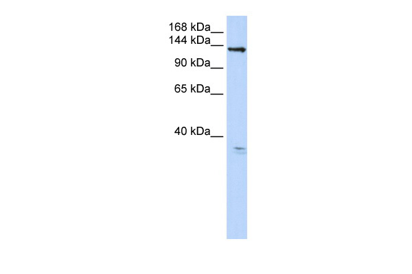 TMEM16C antibody - C-terminal region (ARP49997_P050) in Human 293T cells using Western Blot