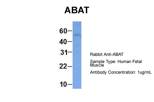 ABAT antibody - middle region (ARP51766_P050) in Hum. Fetal Muscle cells using Western Blot
