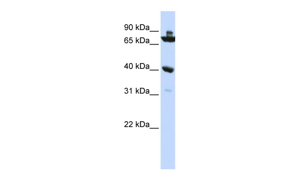 C7orf31 antibody - N-terminal region (ARP52656_P050) in Human HepG2 cells using Western Blot