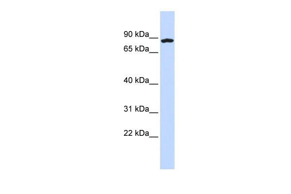 MGC20983 antibody - middle region (ARP52787_P050) in Human 293T cells using Western Blot