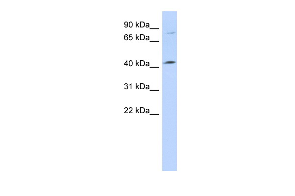 C1orf177 antibody - middle region (ARP53062_P050) in Human 721_B cells using Western Blot