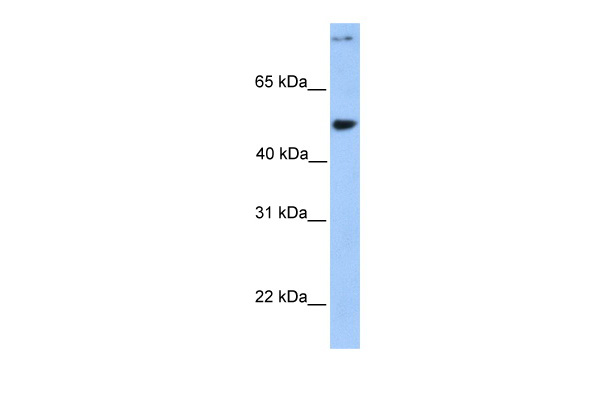 CCDC50 antibody - middle region (ARP53355_P050) in Human 721_B cells using Western Blot