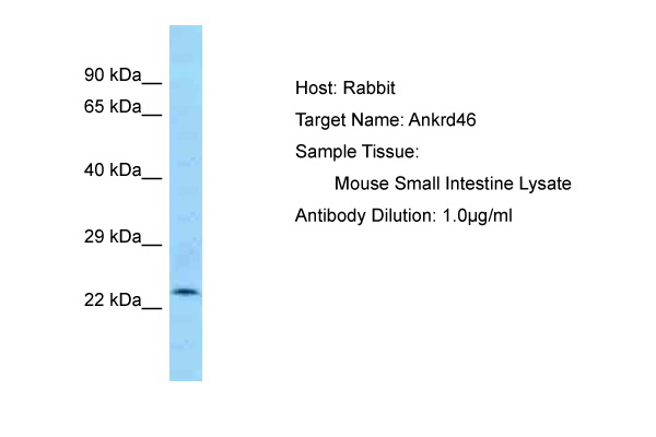 Ankrd46 Antibody - C-terminal region (ARP53464_P050) in Mouse Small Intestine cells using Western Blot
