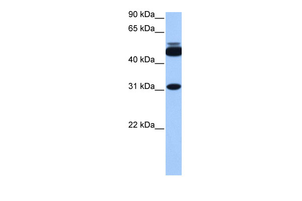CYLC2 antibody - C-terminal region (ARP53587_P050) in Human 721_B cells using Western Blot