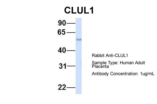CLUL1 antibody - middle region (ARP55044_P050) in Hum. Adult Placenta cells using Western Blot