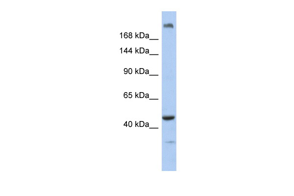 KIAA0284 antibody - N-terminal region (ARP55144_P050) in Human Muscle cells using Western Blot