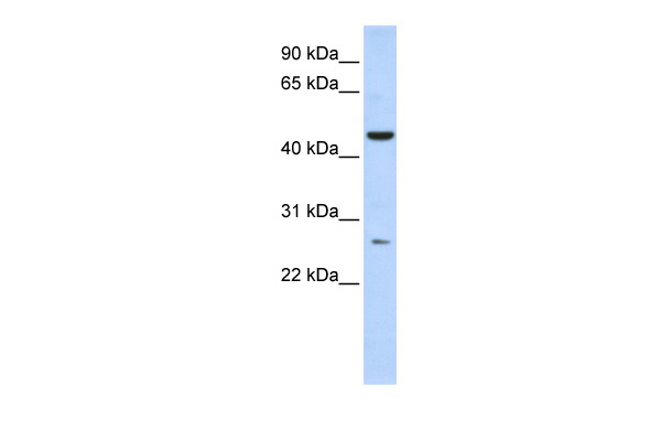 C6orf199 antibody - middle region (ARP55457_P050) in Human Liver cells using Western Blot