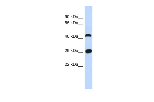 C4orf22 antibody - N-terminal region (ARP55538_P050) in Human Muscle cells using Western Blot