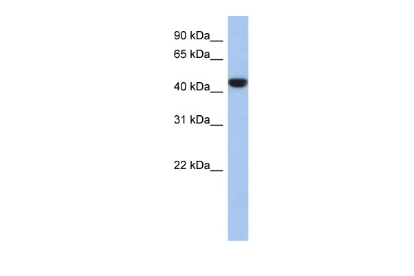 C2orf53 antibody - middle region (ARP55780_P050) in Human 721_B cells using Western Blot