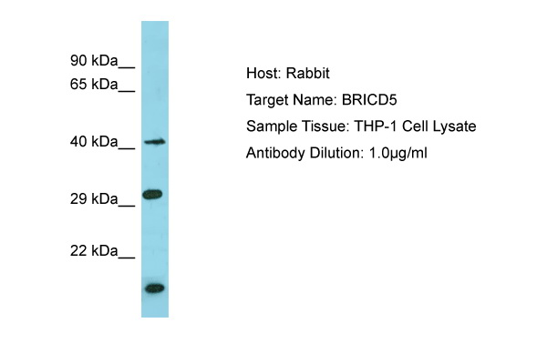 BRICD5 Antibody - N-terminal region (ARP55822_P050) in Human THP-1 cells using Western Blot