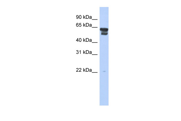 BLMH antibody - middle region (ARP56106_P050) in Human 721_B cells using Western Blot