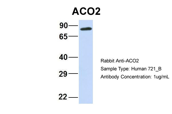 ACO2 antibody - C-terminal region (ARP56302_P050) in Human 721_B cells using Western Blot