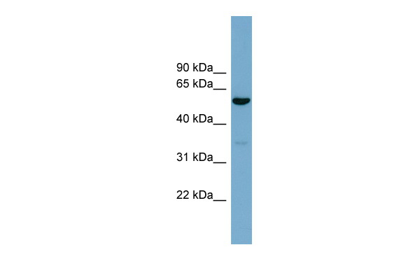 ACTR10 antibody - middle region (ARP57268_P050) in Human 293T cells using Western Blot