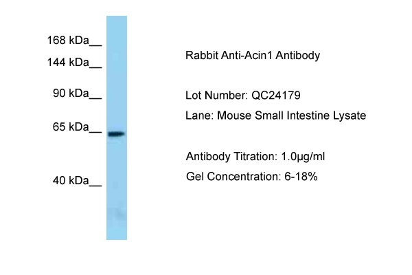 Acin1 antibody - N-terminal region (ARP58256_P050) in Mouse Small Intestine cells using Western Blot