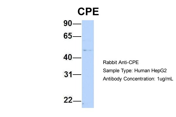 CPE antibody - N-terminal region (ARP58445_P050) in Human HepG2 cells using Western Blot
