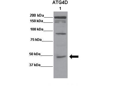 ATG4D antibody - middle region (ARP58865_P050) in 143B cells using Western Blot