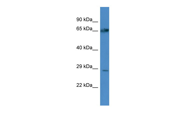ATG4A Antibody - middle region (ARP58927_P050) in Human A549 cells using Western Blot