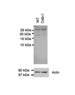 CSTB antibody - N-terminal region (ARP59177_P050) in Mouse cells using Western Blot