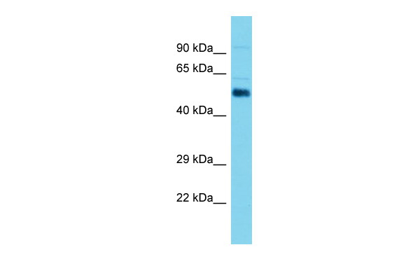 Aldh1a2 Antibody - C-terminal region (ARP59783_P050) in Mouse Testis cells using Western Blot