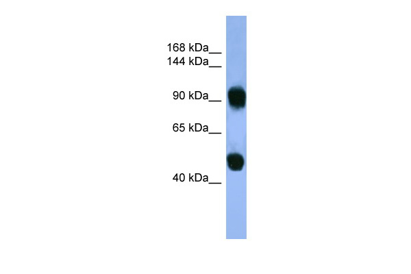 AP1B1 antibody - C-terminal region (ARP59977_P050) in Human Muscle cells using Western Blot