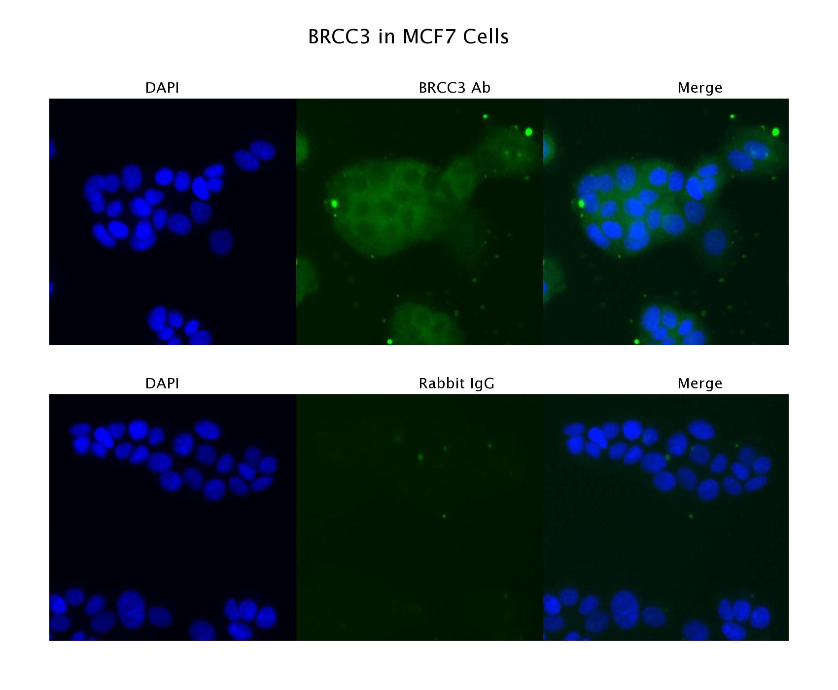 BRCC3 antibody - C-terminal region (ARP61990_P050) in MCF7 cells using Immunofluorescence