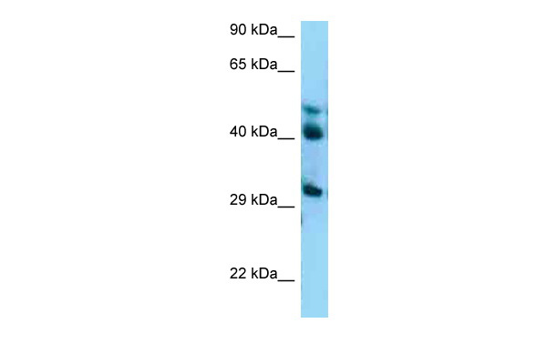 BRE antibody - C-terminal region (ARP62254_P050) in Human A549 cells using Western Blot