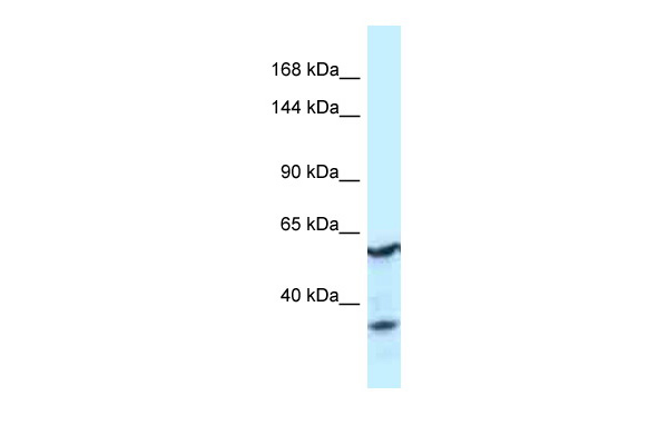 CNTROB Antibody - middle region (ARP62264_P050) in Human Fetal Kidney cells using Western Blot