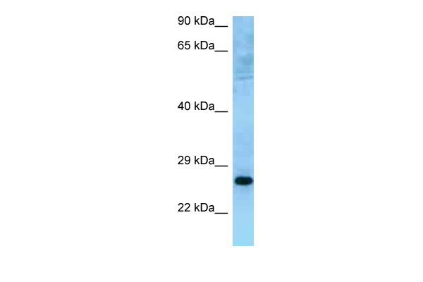 MUTED antibody - C-terminal region (ARP63301_P050) in Human HeLa cells using Western Blot
