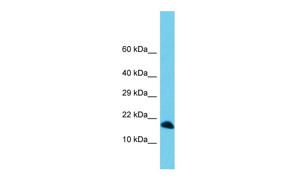 C3orf36 Antibody - C-terminal region (ARP68938_P050) in Human 721_B cells using Western Blot
