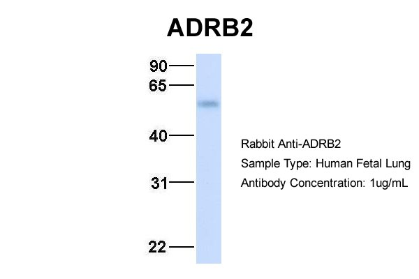 ADRB2 antibody - middle region (AVARP00006_P050) in Hum. Fetal Lung cells using Western Blot